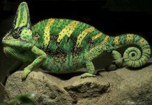 Green and yellow Yemen Chameleon.