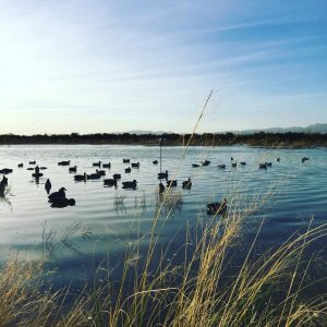 Duck decoys spread out in a pond.