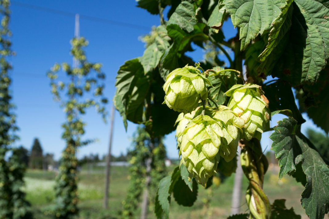 Brewing beer with fresh leaf hops