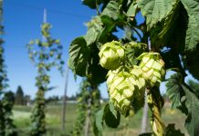 Brewing beer with fresh leaf hops