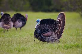 Turkey go gobble this bird tom Elvis
