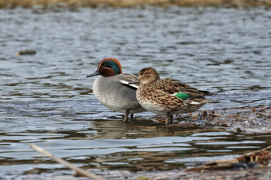 two ducks mating