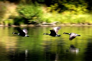 Geese flying over water.
