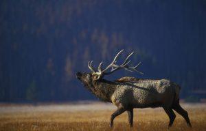 Bull elk in the open