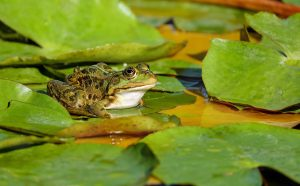 Frog laying on lily pads.