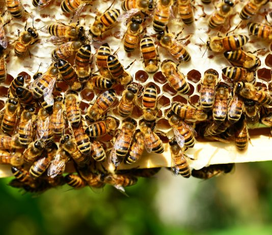 A ton of bees on a comb
