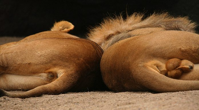 A lion and lioness lie next to each other.