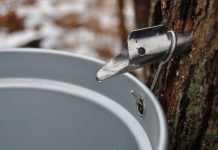 Maple tree tapped, with a bucket under the tap.