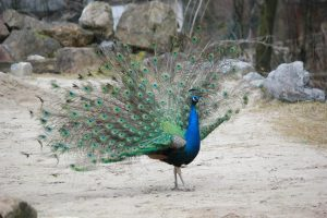 peacock with small fan tail