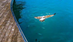 Seagull hunting fish.