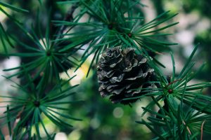 Pine cone still on the tree