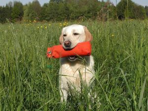Yellow lab holding a decoy, getting ready for hunting season